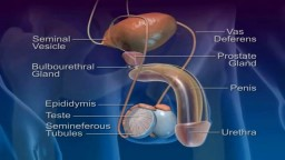 Medical Videos - Pathway and Ejaculation of Sperm