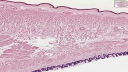 Histology of Tongue