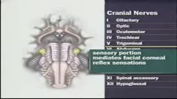 Cranial nerves VI and VII