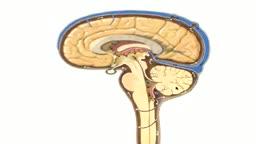 Neuroanatomy of CSF Flow
